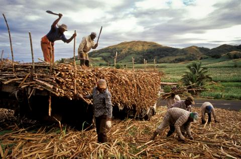 Sugarcane Cultivation in Fiji