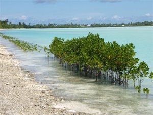 Mangroves to Prevent Erosion