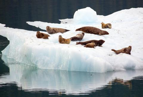 Seals resting on sea ice