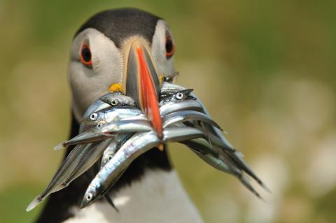 http://www.dailymail.co.uk/news/article-1260909/Greedy-puffin-snaps-huge-beakful-fish-poses-pictures.html