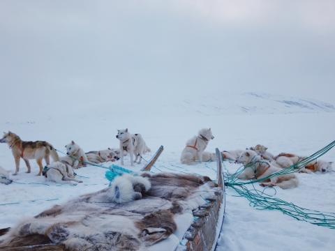 dog sled team in Greenland