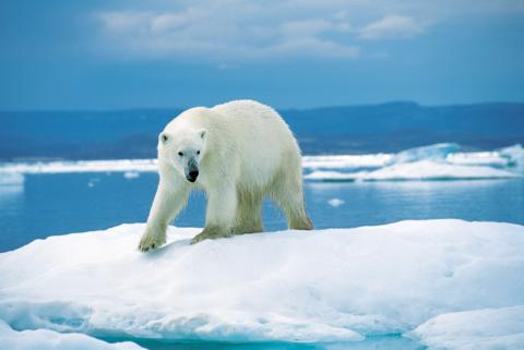 polar bear on ice in Greenland